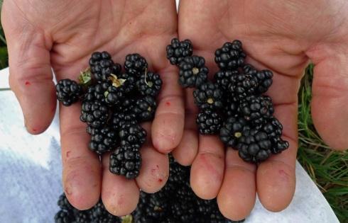 bens berries