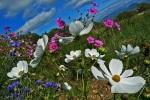 Ceuse Flowers